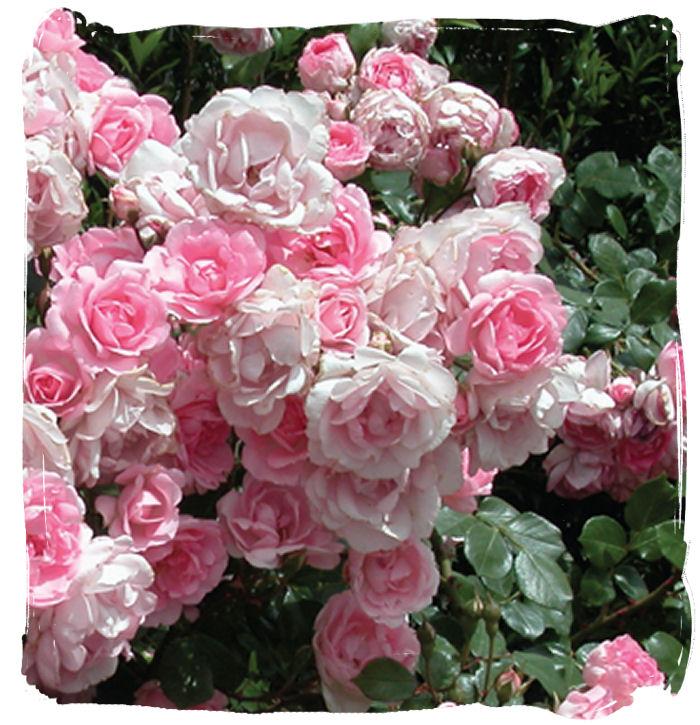 Bordure-rose